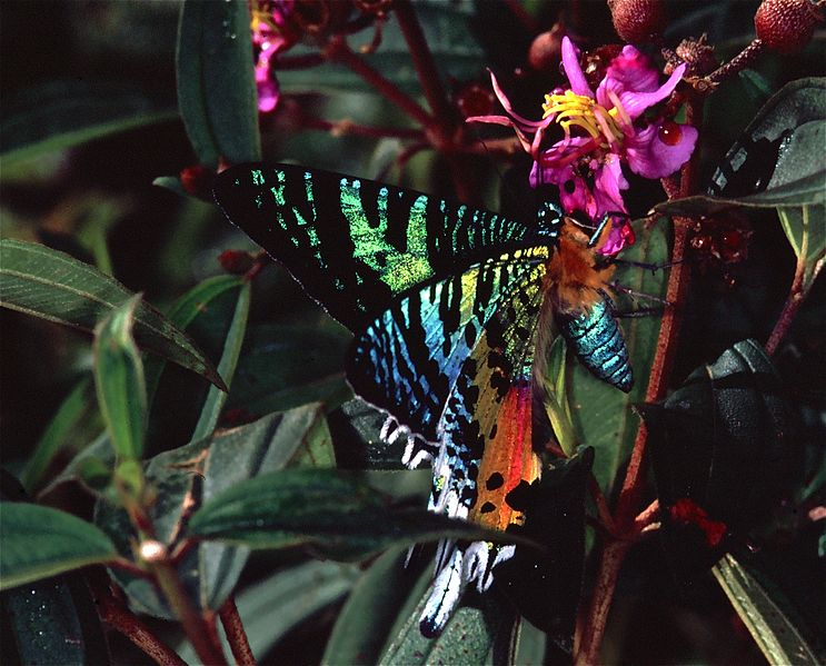 File:Madagascan Sunset Moth (Chrysiridia rhipheus) (7621728054).jpg