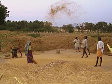 Des Dalits en train de battre du grain.