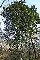Magnolia grandiflora Anderson Springs.jpg