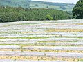Maize Field by Wotton - geograph.org.uk - 817615.jpg