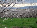 Malatya apricot trees.jpg