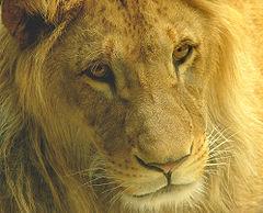 Kříženec lva pustinného se lvem berberským v olomoucké zoo