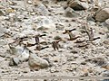 Mallard (Anas platyrhynchos) (34338188570).jpg