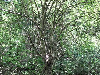 Malus coronaria - Malus coronaria tree.
