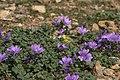Malva sylvestris, Crete 02(js).jpg