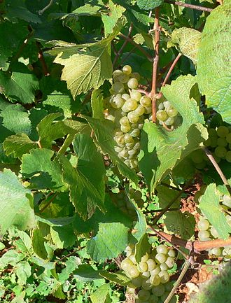 Malvasia - Malvasia grapes on the vine