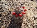 Mammillaria tetrancistra.JPG