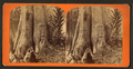 Mammoth Cypress, Oklawaha River, Fla, from Robert N. Dennis collection of stereoscopic views.png