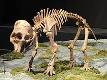 Young mammoth skeleton, with a large skull relative to its body