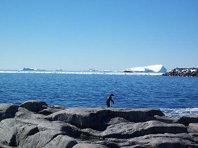 Manchot Adélie face à la mer.jpg