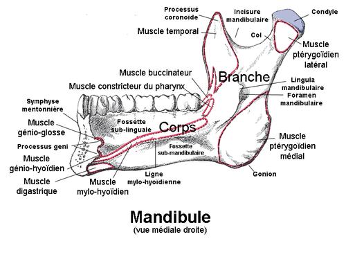Vue mediale du maxillaire