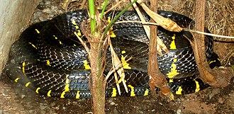 Boiga - Mangrove snake at the United States National Zoological Park.