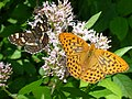 Map Buterfly Silver-washed Fritillary (3780987231).jpg