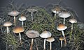 Marasmius oreades (fairy ring mushrooms).jpg