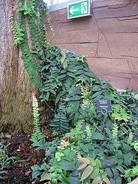 Marcgravia umbellata - Berlin Botanical Garden - IMG 8726