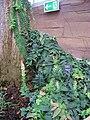 Marcgravia umbellata - Berlin Botanical Garden - IMG 8726.JPG