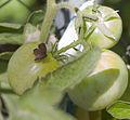 Mariposa del geranio (Cacyreus marshalli), Calatayud, España, 2012-09-01, DD 01.JPG