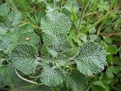 Marrubium vulgare3
