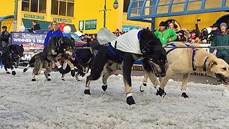 Alaskan husky - Martin Buser's team of Alaskan huskies during the 2015 Iditarod Ceremonial Start in downtown Anchorage, Alaska
