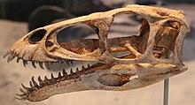 Masiakasaurus skull at FMNH.jpg