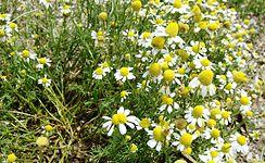 Matricaria chamomilla from Macedonia.jpg