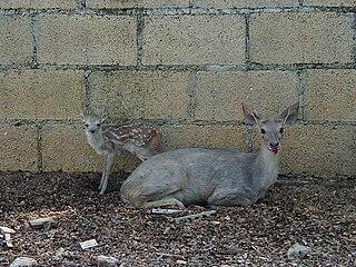 Yucatan brown brocket species of mammal