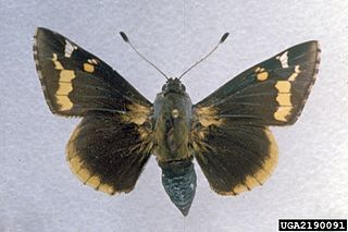 <i>Megathymus yuccae</i> species of insect
