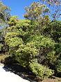 Melaleuca linariifolia - Jardín Botánico de Barcelona - Barcelona, Spain - DSC09009.JPG