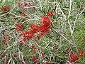 Melaleuca sabrina (leaves, flowers).JPG