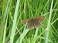 Melitaea diamina - False heath fritillary - Шашечница черноватая (26280482957).jpg