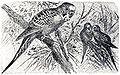 Melopsittacus undulatus Brockaus Efron.jpg