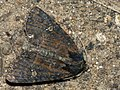 Mesapamea secalella secalis - Common rustic (26258780967).jpg
