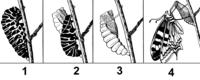 Metamorphosis of butterfly (PSF).png