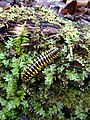 Millipede Great Smoky Mountains.JPG