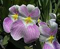 Miltoniopsis vexillaria (10957424836).jpg