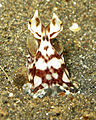 Mimic Octopus 5.jpg