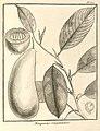 Minquartia guianensis Aublet 1775 pl 370.jpg