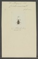 Minyops - Print - Iconographia Zoologica - Special Collections University of Amsterdam - UBAINV0274 029 03 0002.tif