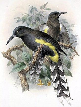 Mohoidae - Image: Moho apicalis Keulemans