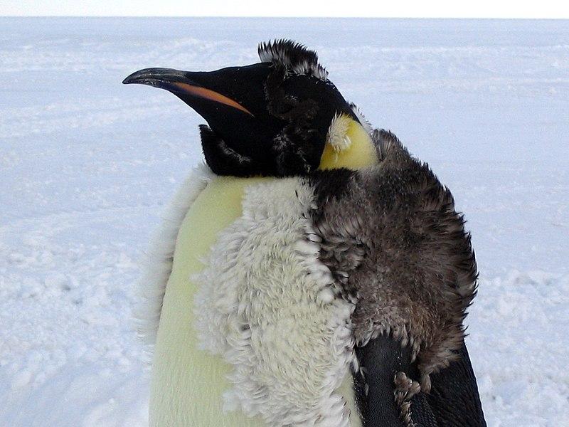 File:Molting Emperor Penguin.jpg