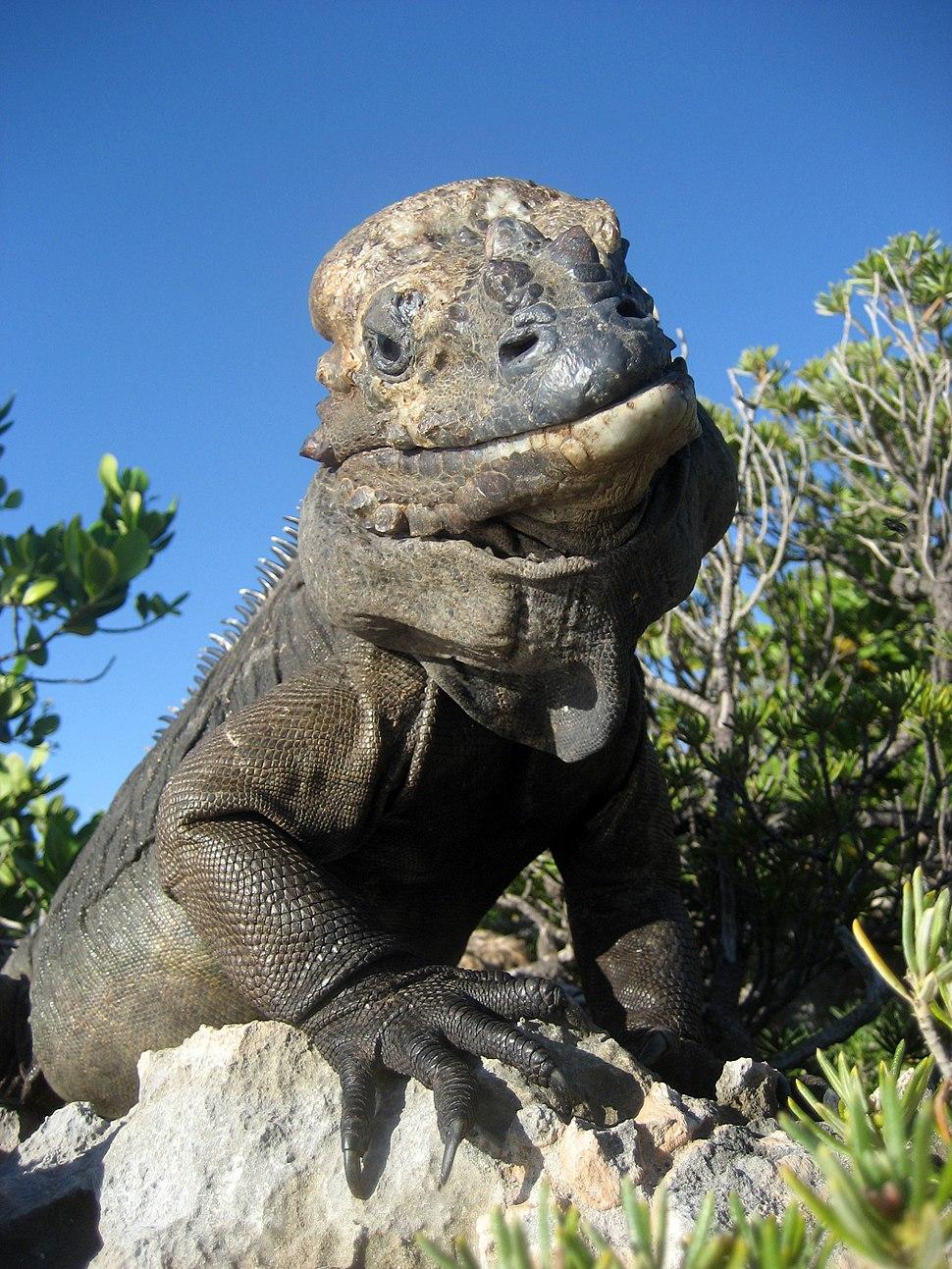 Mona ground iguana no.2
