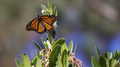 Monarch Butterfly (6254400793).png
