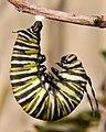 Monarch Caterpillar J-Shape (5612758800).jpg