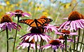 Monarch butterfly and honeybee on purple coneflower (36258847092).jpg