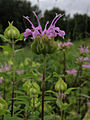 Monarda fistulosa - Wild Bergamot.jpg