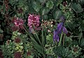 Monkshood flower aconitum delphinifolium and sedum rosea.jpg