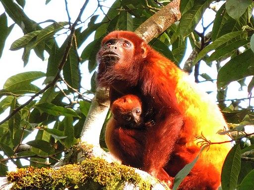 Mono Aullador con cría