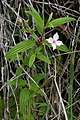 Monochaetum lineatum.jpg