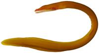 Monopenchelys acuta - pone.0010676.g012.png