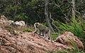 Monyet Ekor Panjang (Macaca fascicularis), Pulau Sekatung, Kabupaten Natuna, Kepulauan Riau, 01022015.jpg